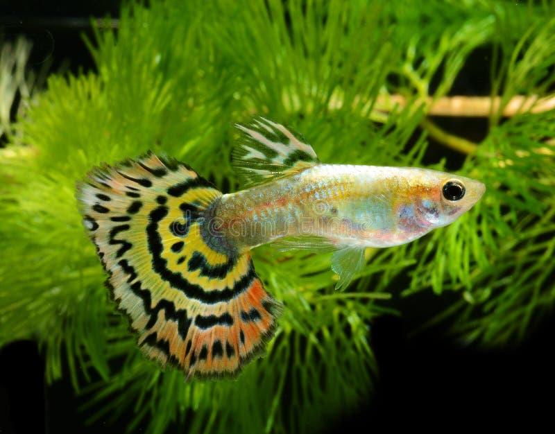 Guppy dei pesci fotografie stock libere da diritti