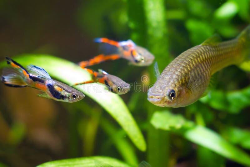 Guppy endler, Poecilia wingei, freshwater aquarium fish, males in spawning coloration and female, courtship, biotope aquarium. Closeup nature photo royalty free stock images