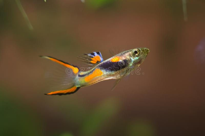 Guppy endler, Poecilia wingei, słodkowodna akwarium ryba, samiec w jaskrawym tarłowym barwieniu, Laguna Campoma biotopu akwarium zdjęcia royalty free