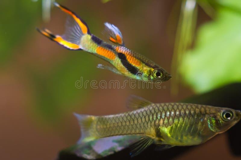 Guppy Endler, Poecilia-wingei, zoetwateraquariumvissen, laguna Campoma mannelijk vrijagewijfje, biotoopaquarium royalty-vrije stock foto