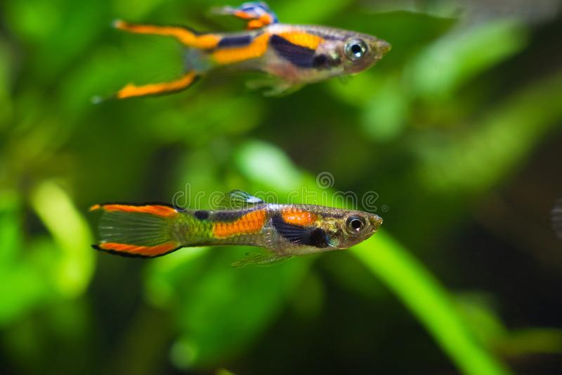 Guppy endler, wingei Poecilia, του γλυκού νερού ψάρια ενυδρείων, αρσενικά στο φωτεινό laguna Campoma χρωματισμό, ενυδρείο βιότοπω στοκ εικόνες