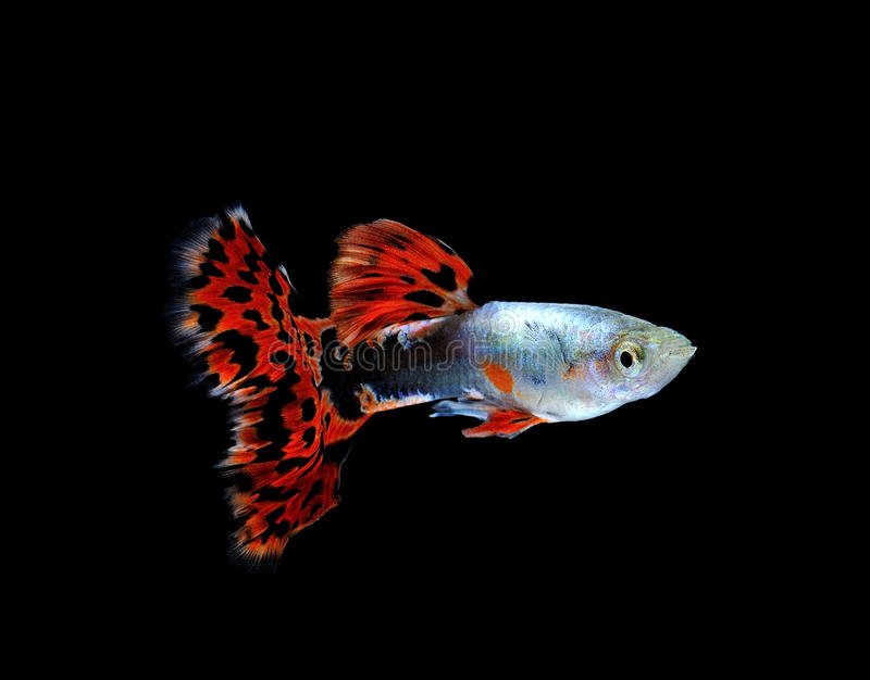 Download Guppy  Fish  Isolated On Black Stock Image - Image of black, underwater: 39512519