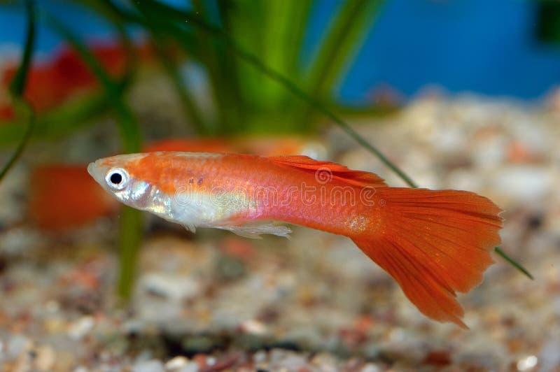 Guppy fish royalty free stock photos