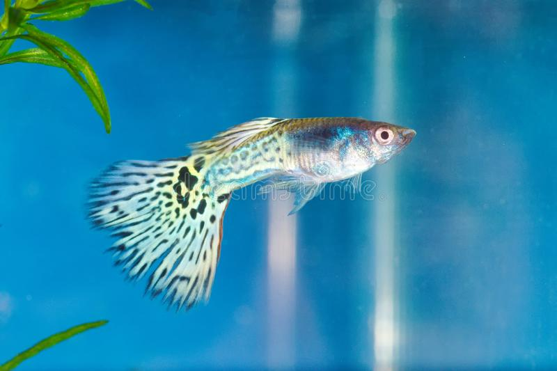 Guppy Poecilia reticulata in a aquarium stock image