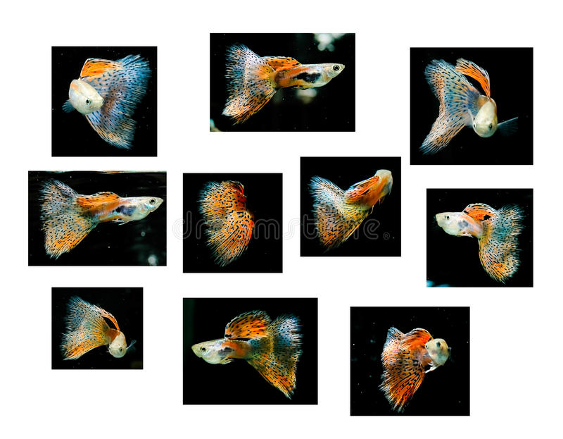 Guppy rouge de natation, animal familier tropical de poissons photos stock