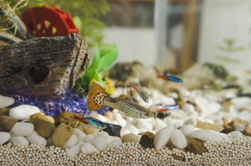 Guppyfisk och Tetra Paracheirodon för neon i akvarium arkivfoto