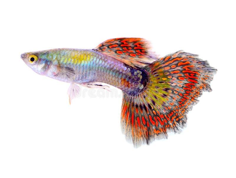 Guppyvissen op witte achtergrond royalty-vrije stock fotografie