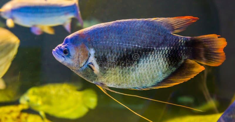 Gurami vermelho gigante da cauda, um peixe tropical raro da bacia hidrogr?fica de Kinabatangan de malaysia fotografia de stock royalty free