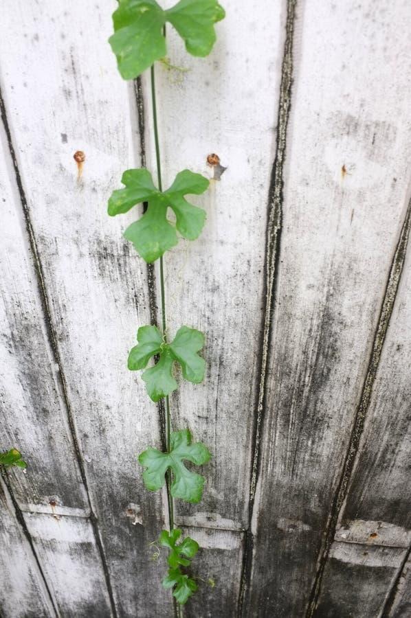 Gurda na szarej drewno ścianie zdjęcie royalty free