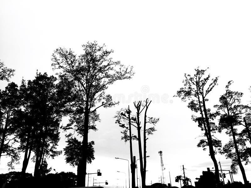 Gurjan树剪影在白色背景隔绝的农村路旁边的 免版税库存图片