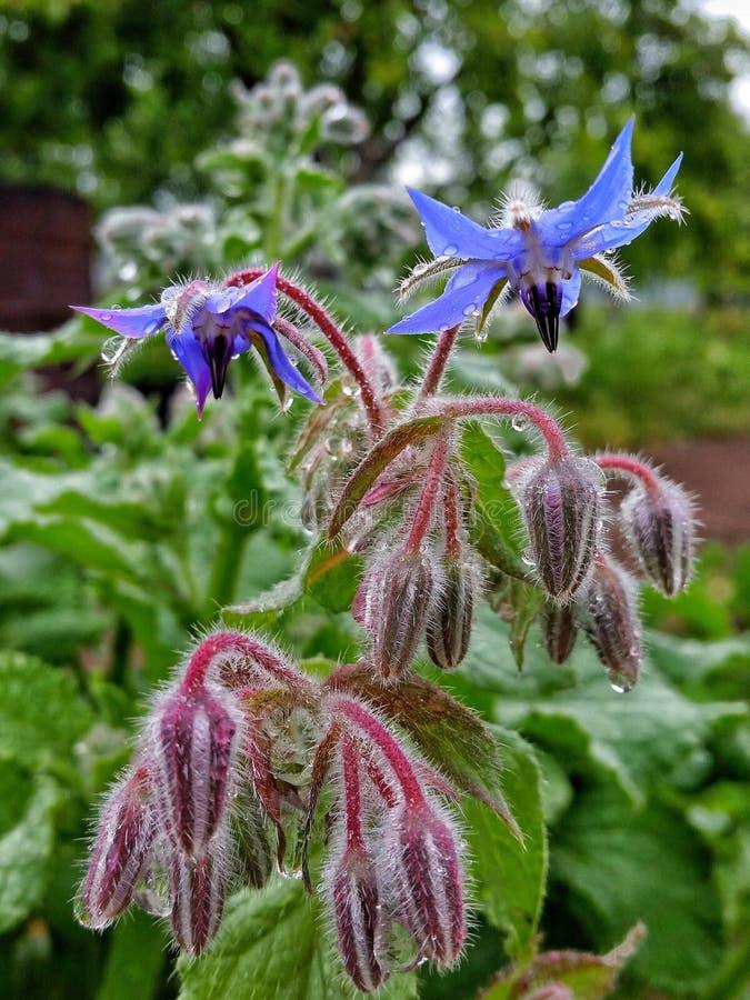 Gurka för gräs för blommor för Borageboragoblått fotografering för bildbyråer