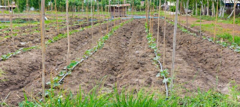 Gurkafält som växer med droppbevattningsystemet arkivbild