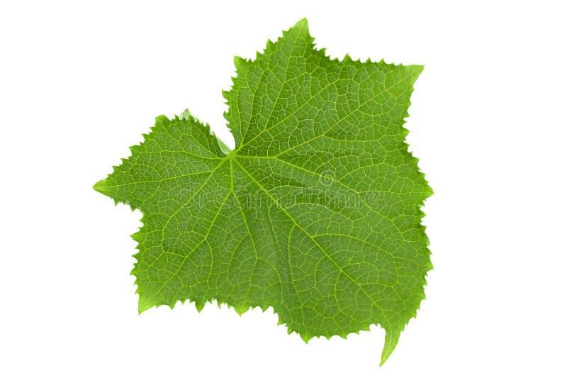 Gurkagrönsakblad på vit arkivbild