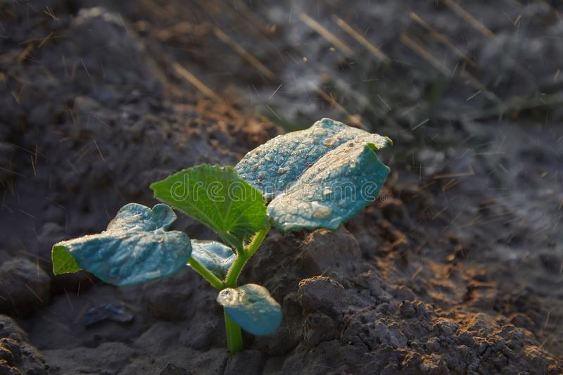 Gurkagroddar i fältet och bonden bevattnar det; plantor i bondens trädgård closen colors slappt ?vre siktsvatten f?r liljan arkivfoton