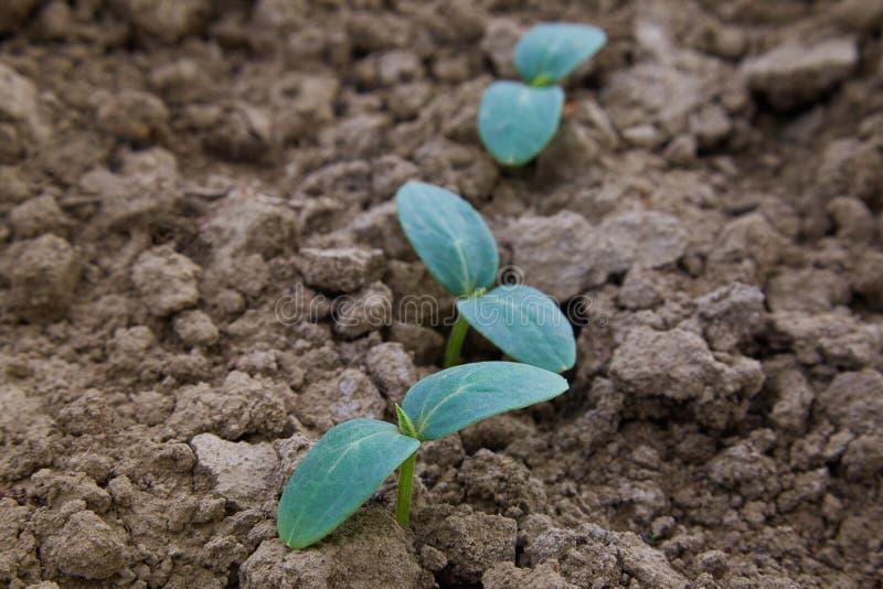 Gurkaplantor, unga groddar som utomhus växer royaltyfria bilder