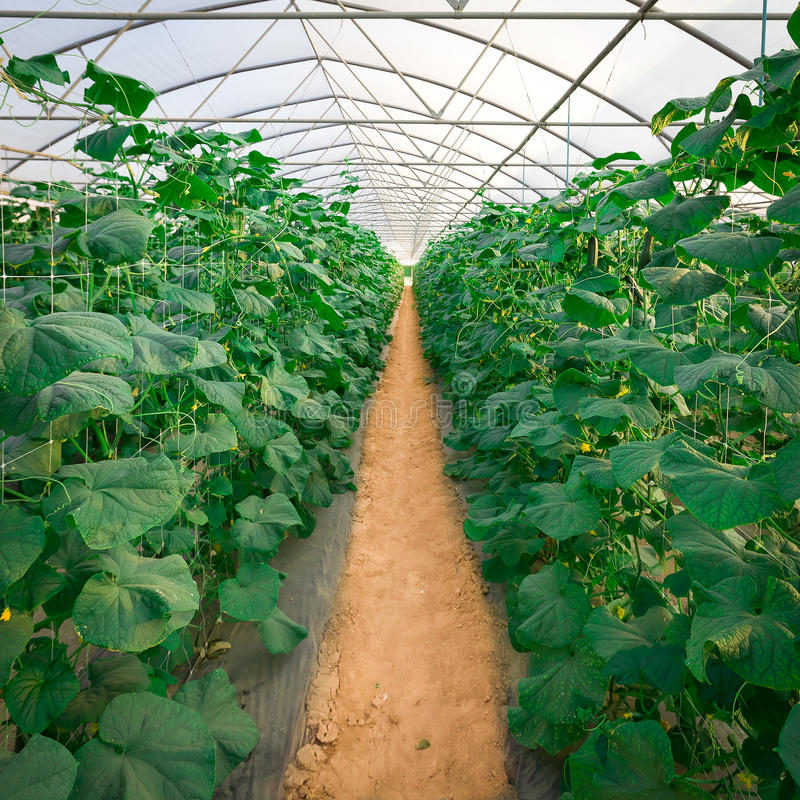 gurkaväxthus som växer växter royaltyfri bild