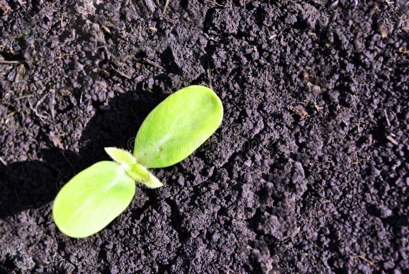 Gurkav?xten som v?xer i svart jord, organiskt lantbruk, st?nger sig upp f?rst rundade sidor royaltyfri fotografi
