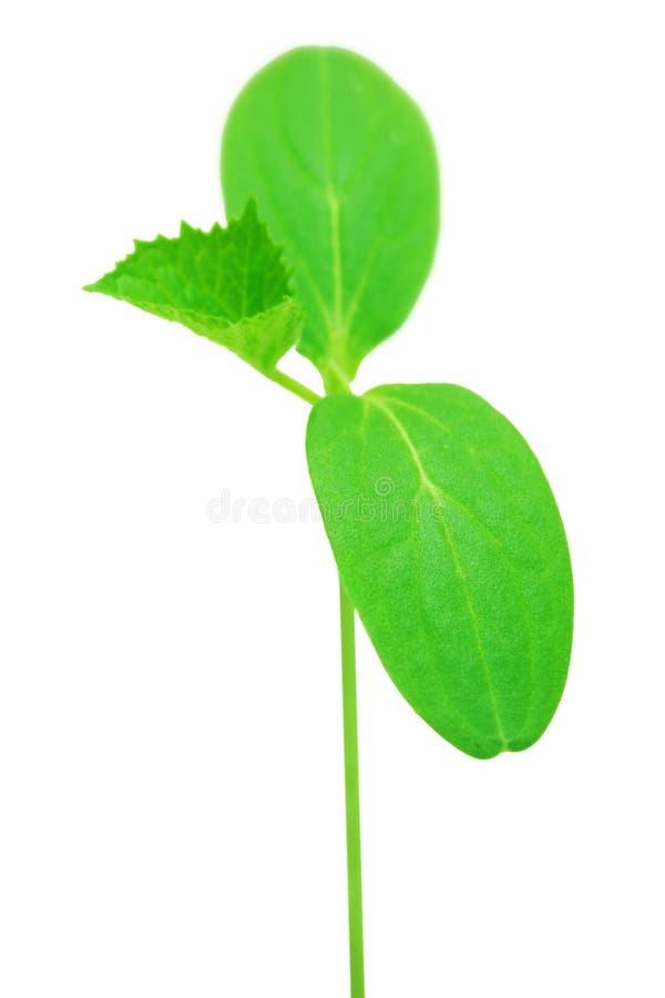 Download Gurkeanlage. stockfoto. Bild von geburt, botanik, nurture - 9093404