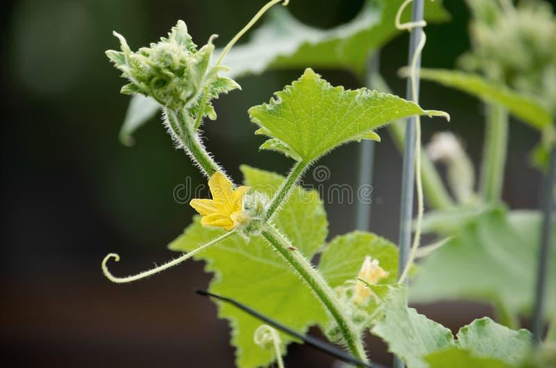 Gurkegemüse mit Blättern und Blumen lizenzfreie stockfotografie