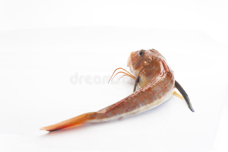 Gurnard ryba lub pesce gallinella obrazy stock