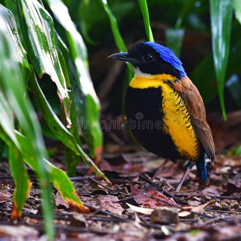 Gurneys Pitta fågel arkivbild