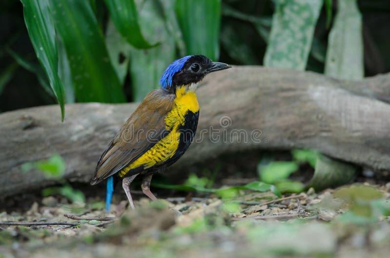Gurneys Pitta Hydrornis gurneyi i naturen, Thailand arkivbilder