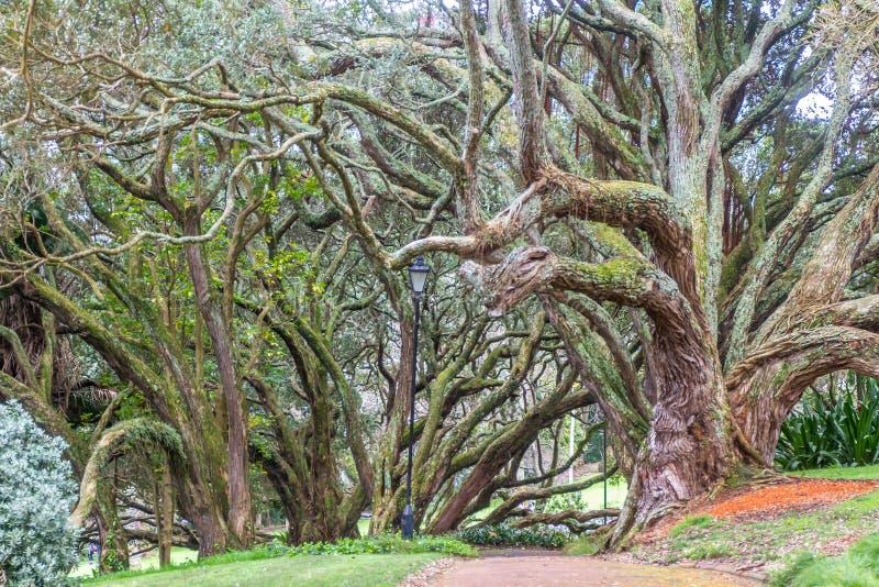 Gurtów korzenie Moreton zatoki figi drzewo obraz royalty free