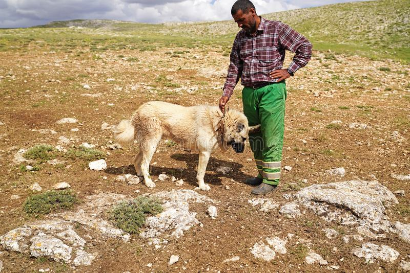 Gurun, Sivas/Turkey-June 21 2018: Anatolian shepherd dog with sp. Iked iron collar playing with its shepherd on pasture stock images