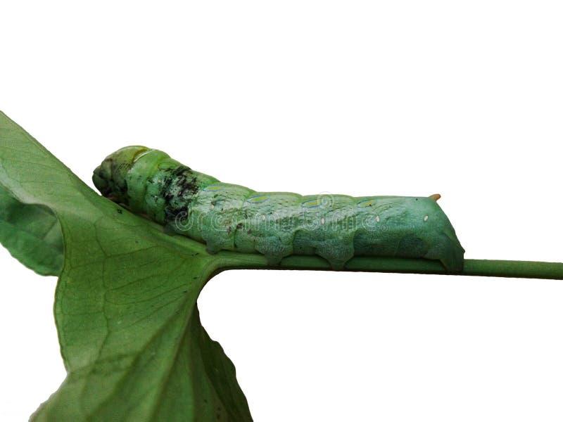 Gusano verde grande en la hoja verde foto de archivo libre de regalías