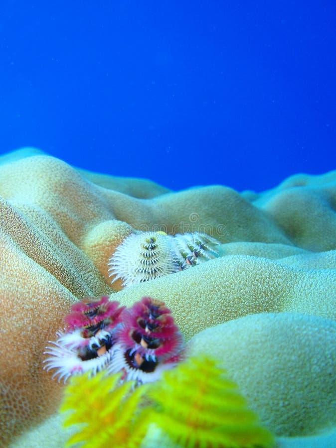 Gusanos del árbol de navidad del arrecife de coral imagen de archivo libre de regalías