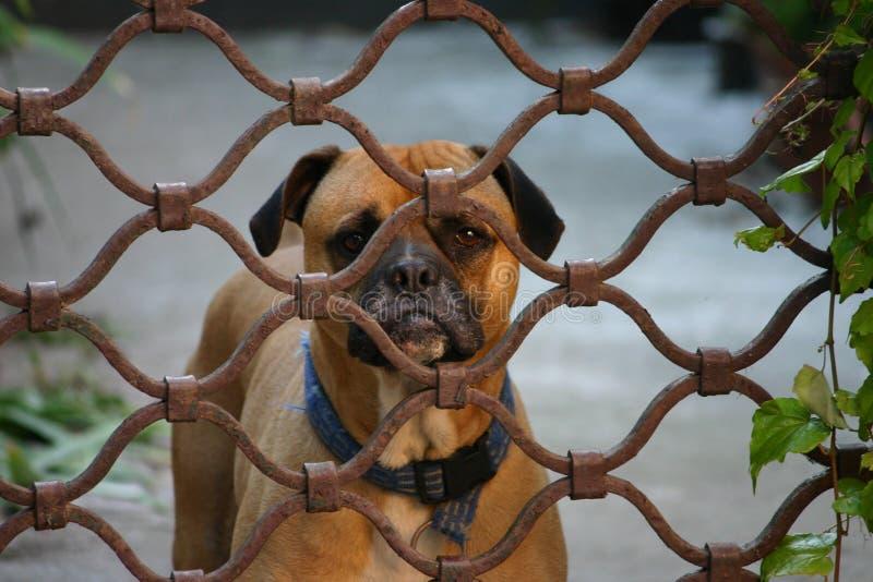 Gusrding pies zdjęcie stock