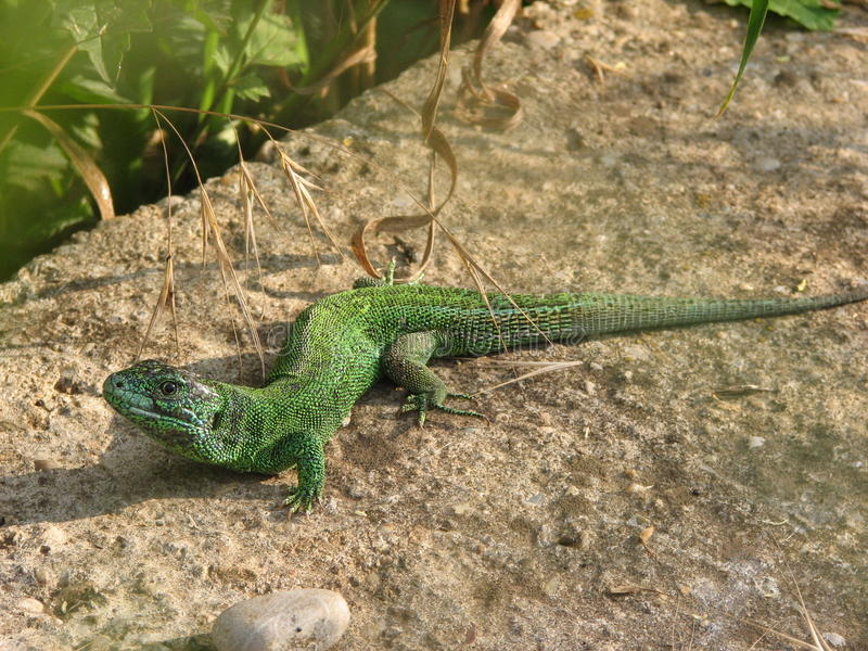 Guster lizard. Guster a lizard sits in the sun and heat royalty free stock image