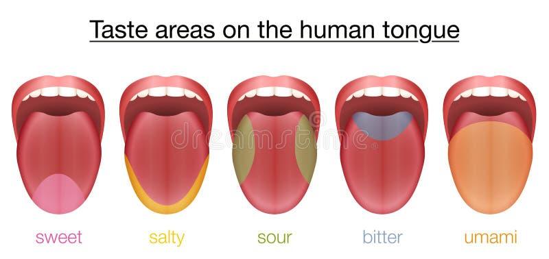 Gusto amargo amargo salado dulce de Umami de la lengua ilustración del vector