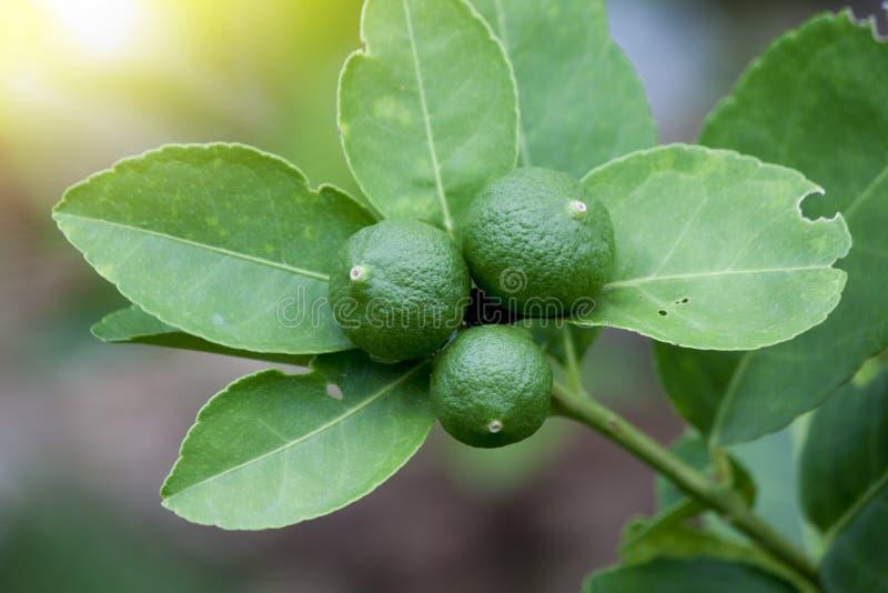 Gusto amargo de la fruta verde del limón fotos de archivo libres de regalías