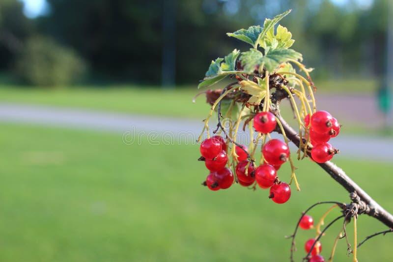 Gusto di Redberries delizioso fotografia stock