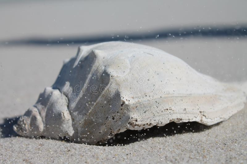 WIND BLOWN CONCH SHELL, ISLAND BEACH STATE PARK NJ. Gusty winds blow grains of said across a sun bleached conch shell, washed ashore at Island Beach State Park stock photography