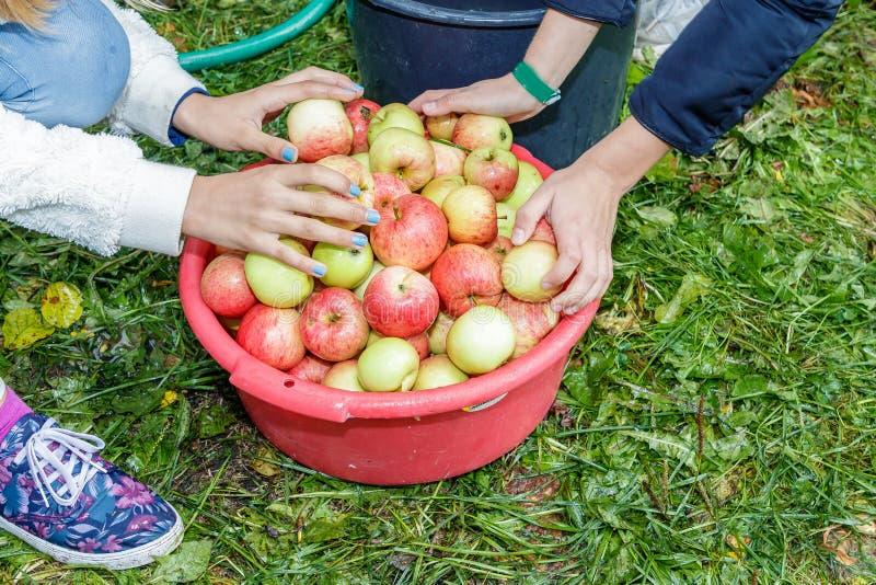 Gute Apfelernte stockfotos