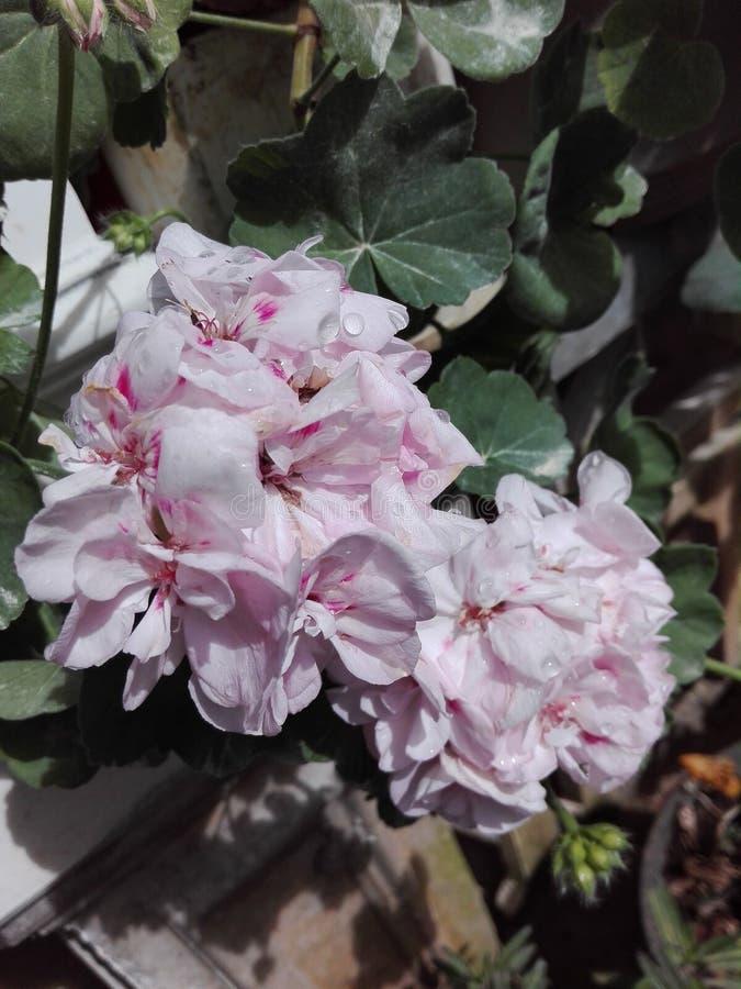 Gute Blume für Sri Lanka lizenzfreie stockfotografie