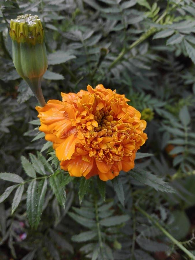 Gute Blume sein Name ist DASPETIYA lizenzfreies stockbild