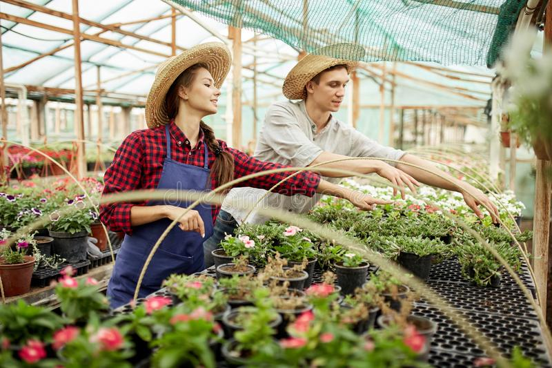 Guy and girl gardeners  in a straw hats choose pots with flower seedlings in greenhouse on a sunny day. stock images