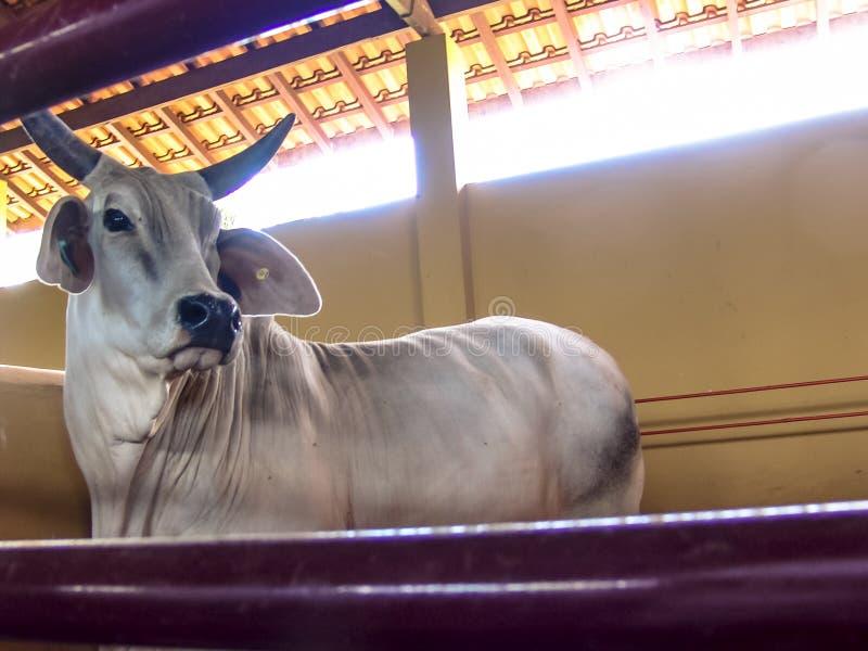 Guzera-Viehinnere des Stalls gelegen in Brasilien stockfoto