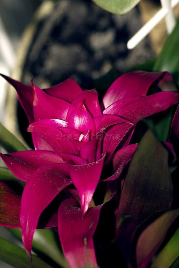 Guzmania pink flower closeup photo stock photo