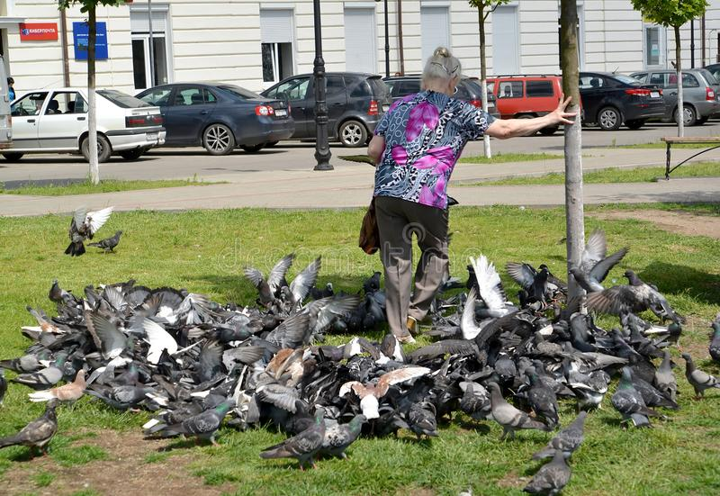 GVARDEYSK,俄罗斯 年长妇女通过盒蓝色岩石鸽子做方式 免版税图库摄影