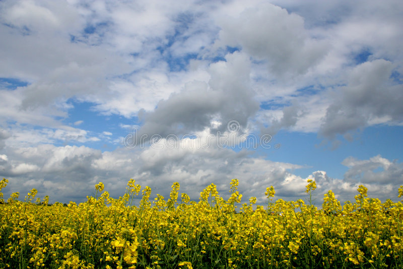 Download Gwałt pola zdjęcie stock. Obraz złożonej z gwałt, yellow - 132508