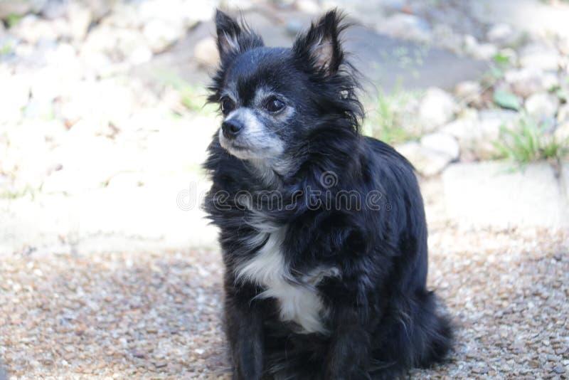 Gwen die relfecting Lebenwahlen der Chihuahua stockfoto