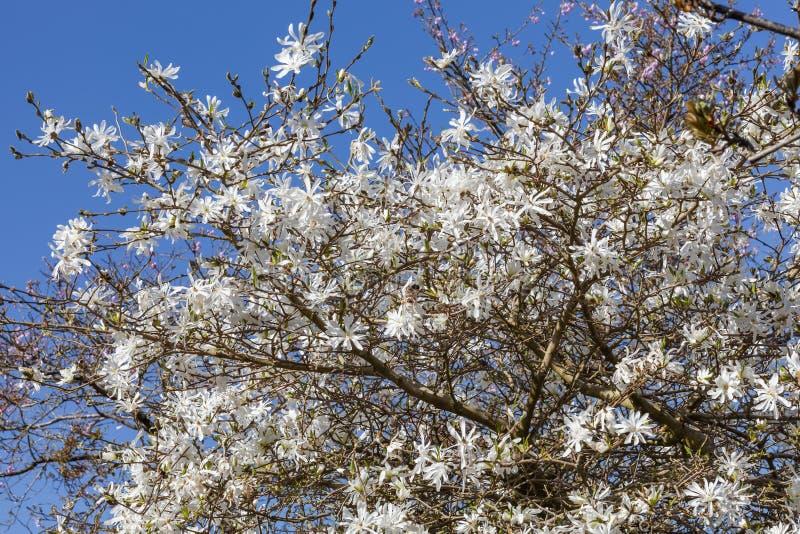 Gwiazda magnolia Magnolia Stellata obrazy stock