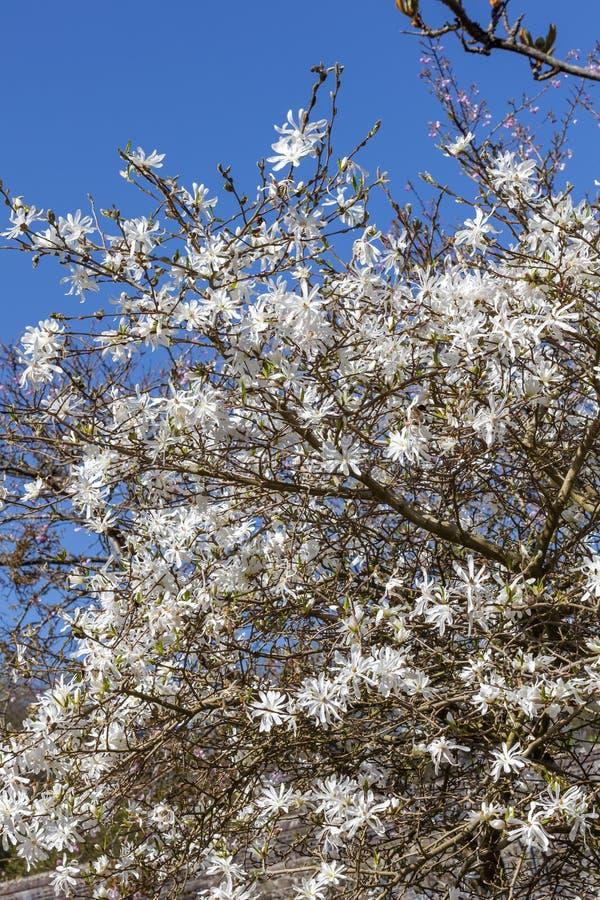 Gwiazda magnolia Magnolia Stellata obraz royalty free