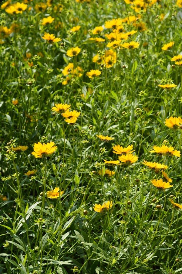 Gwiazda tickseed kwiaty fotografia stock