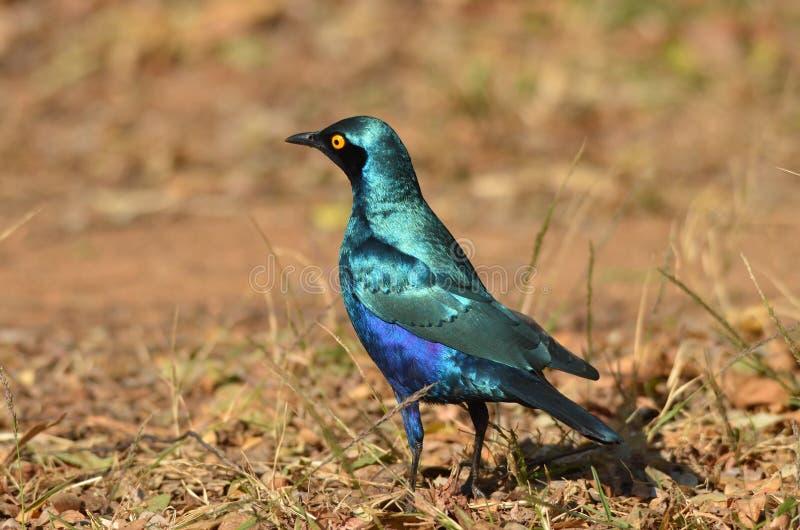 Gwiazda w Kruger Park zdjęcia royalty free