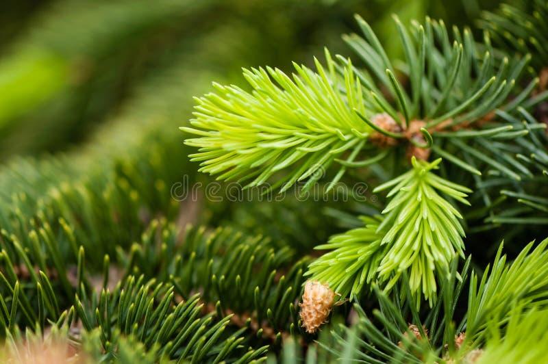 Gwiazdka, naturalna gałąź świerkowa, natura fotografia stock